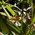 La Timandre aimée • Timandra comae • Famille des Geometridae