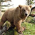Sauvez l'ours brun d'europe