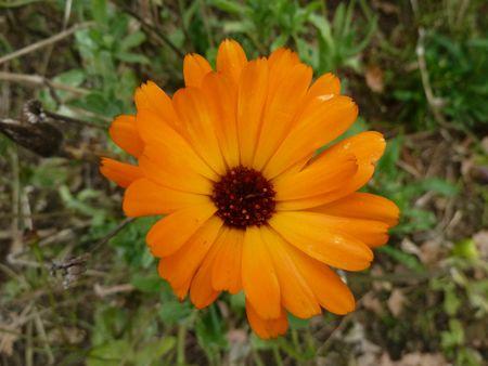 17novembre-fleurs de mon jardin (37)