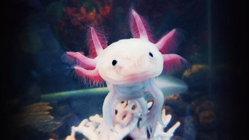 vicious-the-axolotl-kristina-savasta