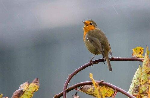 chant d'oiseaux