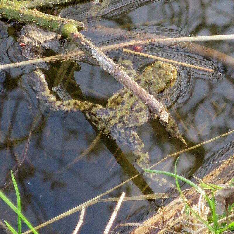 grenouilles d