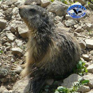 Marmotte Mai 2012 Manigod Col de Merdassier 026