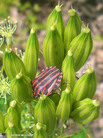 Graphosoma_lineatum_4