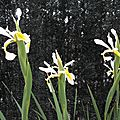 Iris des marais, Troc ou 1€ le bulbe