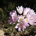fleurs mauves4