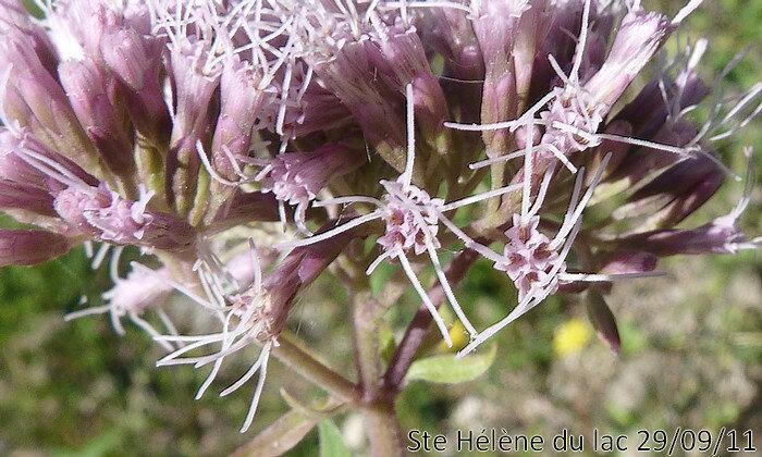 fleurs tubuleuses groupées par 5-6 en petits capitules d'environ 1 cm