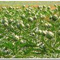 Panorama sur un champs d'artichauts...