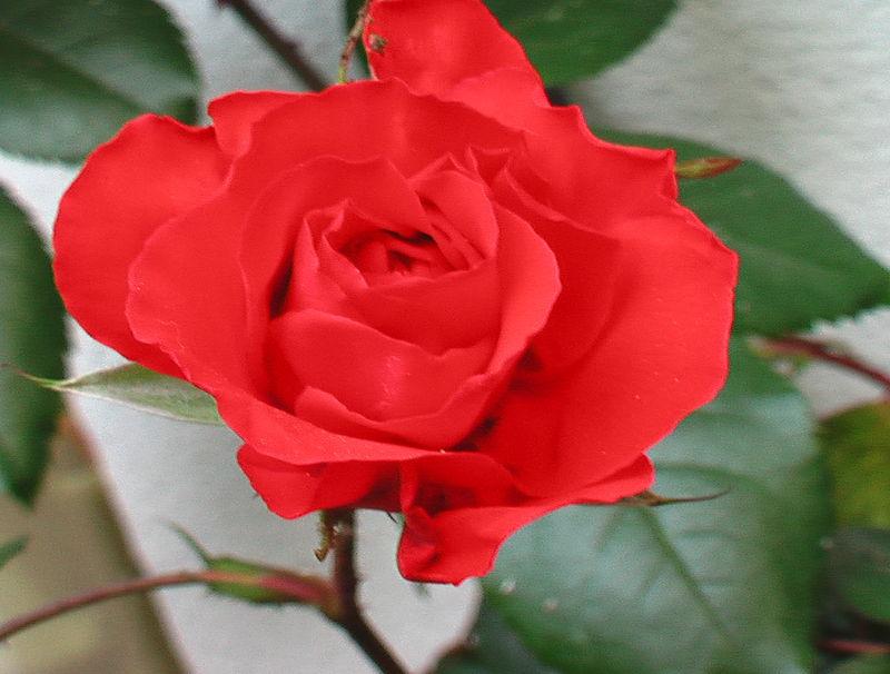 fleurs 053