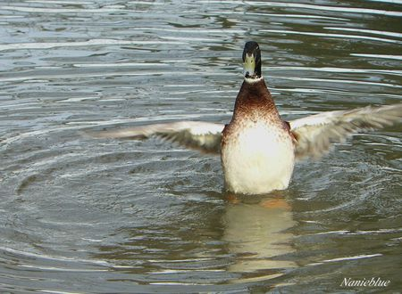 dance des canards