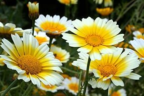 Chrysanth coronarium