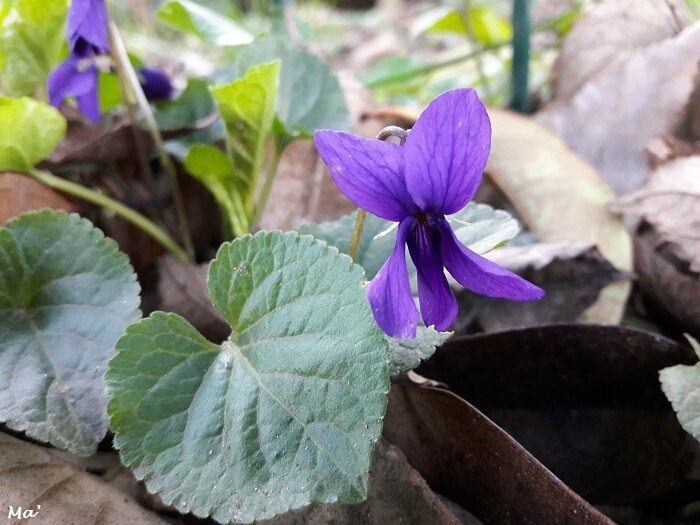 180123_violettes