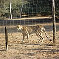 un guepard
