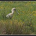 Averses et éclaircies sur la spatule blanche aux marais de brouage, au printemps