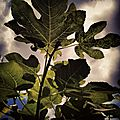 fig_tree___cathy_wagner