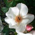 Rose simple (nom inconnu)
