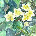 A Fleurs de Frangipanier