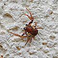 Araignée crabe Ozyptila sp. • Famille des Thomisidae