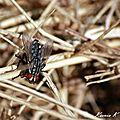 La mouche à damier