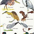 Les oiseaux de camargue (planche1), aquarelle