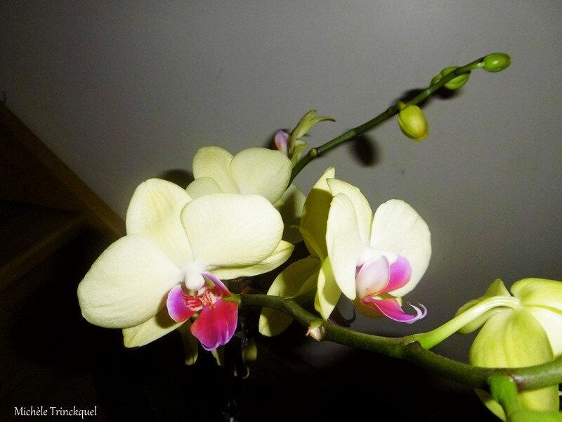 Orchidée jaune 020219