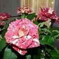 Epines ou rose ???