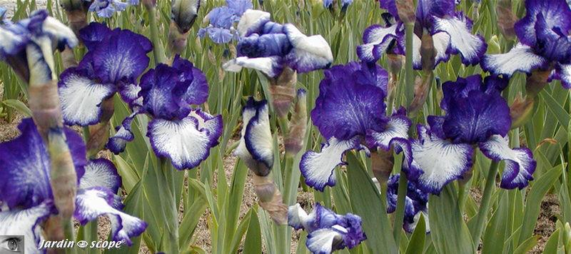Iris_bleus