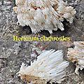 Hericium clathroides