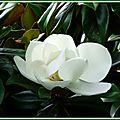 Magnolia 030715