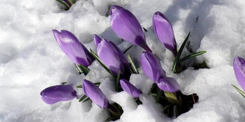 1248784-neige-de-printemps-crocus-visoflora-24939