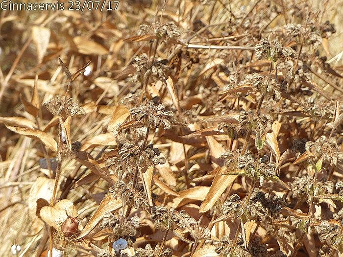 plantes desséchées diffusent les graines emportées par les vents