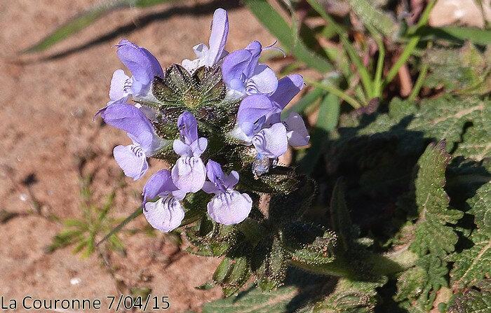 Salvia verbenaca subsp clandestina