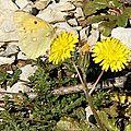 Colias croceus recto, verso, mâle et femelle