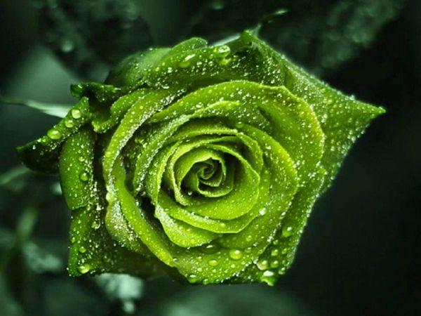 rose verte fb_n