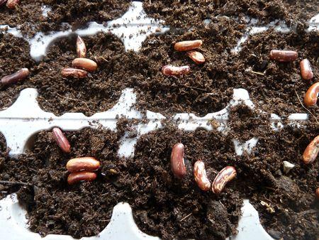 01-semis haricots (2)