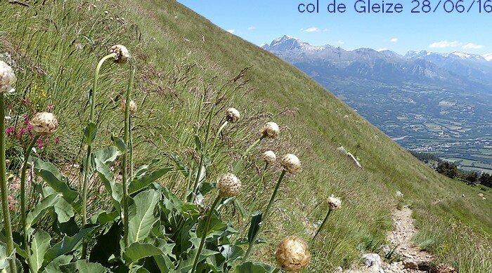 Rhaponticum heleniifolium subsp heleniifolium