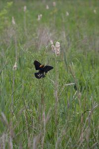 400-1 Red-winged Blackbird Agelaius phoeniceus