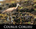 LIEN_courlis_corlieu