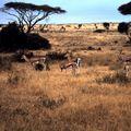 amboseli gazelle aa