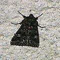 Noctuidae<<<
