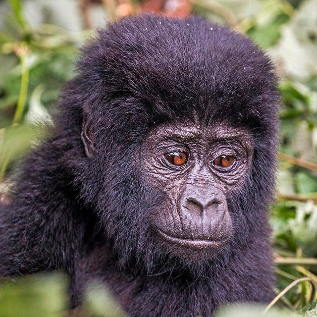 Mountain_gorilla_(Gorilla_beringei_beringei),_2-year-old