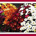 1-Lever de soleil et Chrysanthèmes 231017