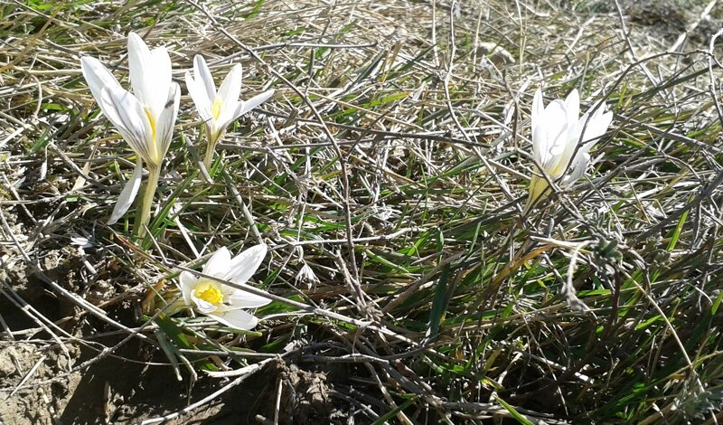 14-03-09 Crocus nevadensis2
