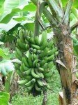 nord_r_gime_de_banane