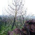 pin calciné sur fond de schiste rouge