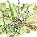 Sympetrum flaveolum