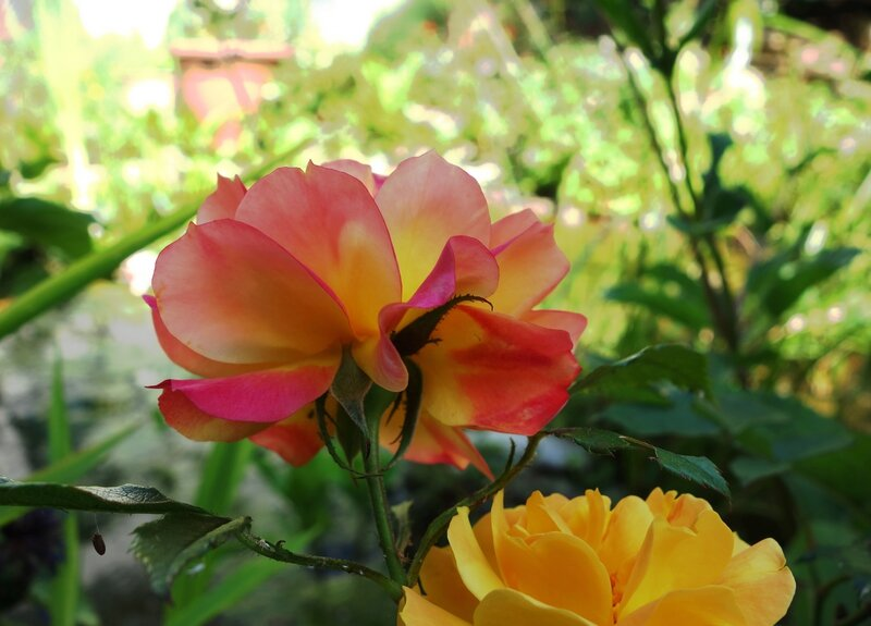 Roses Contre-jour