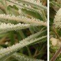 des fleurs de pissenlit dans le givre