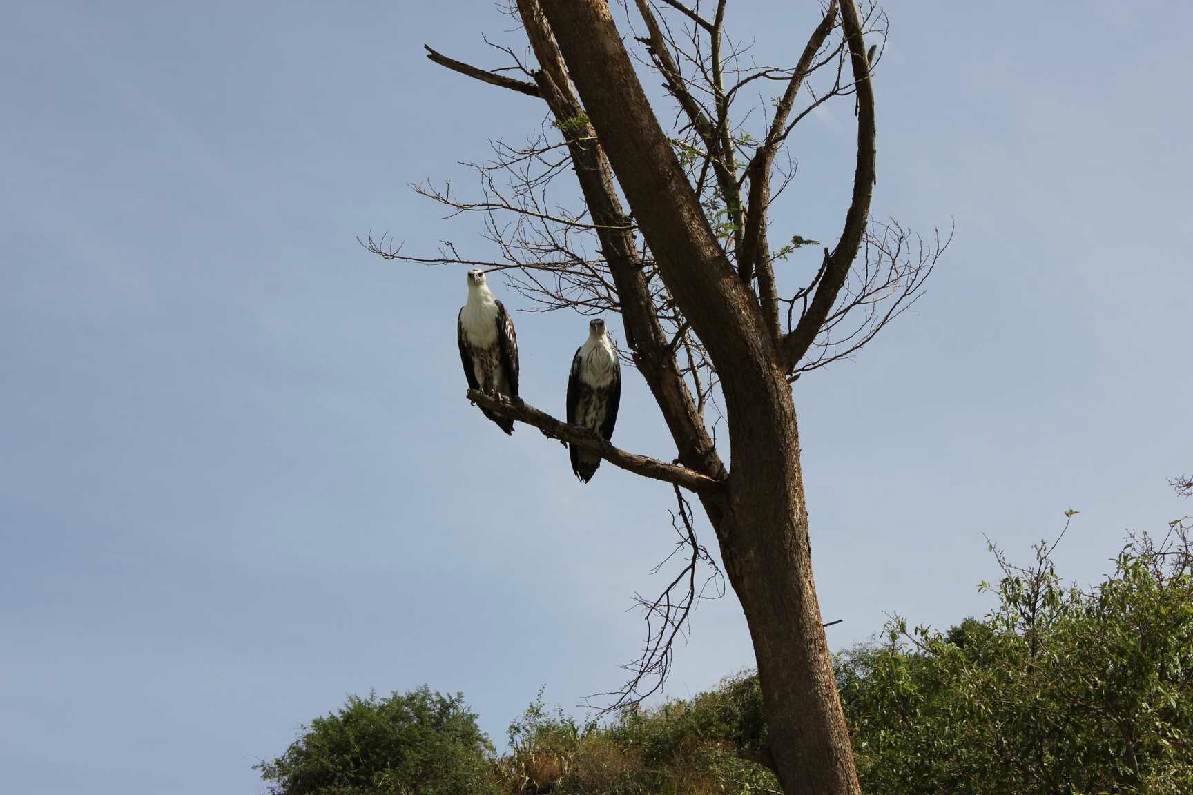 aigles pêcheurs / eagle