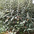 Epine vinette - berberis